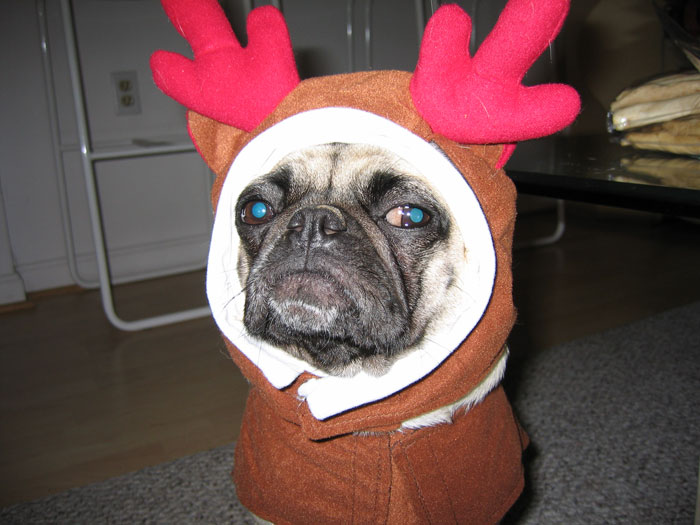 Christmas pug says Happy effin' Christmahanakwanzaa